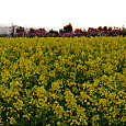 蒲原の菜花