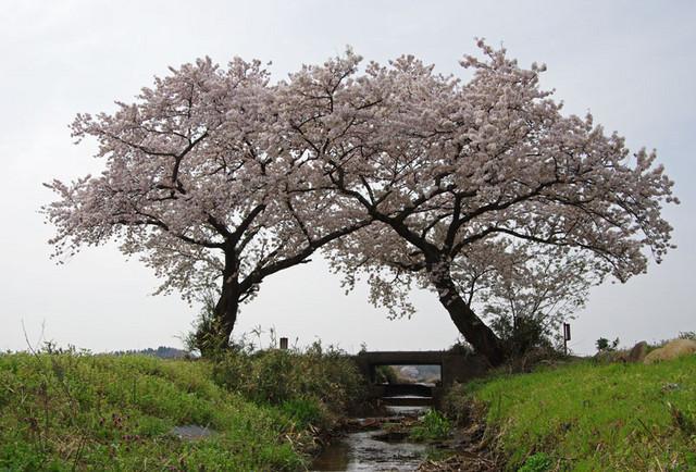 よりそう桜