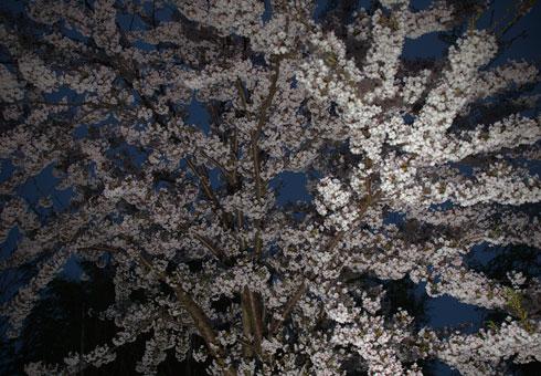 Sakuralight