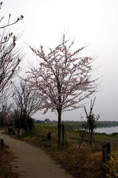 Sakurateiten